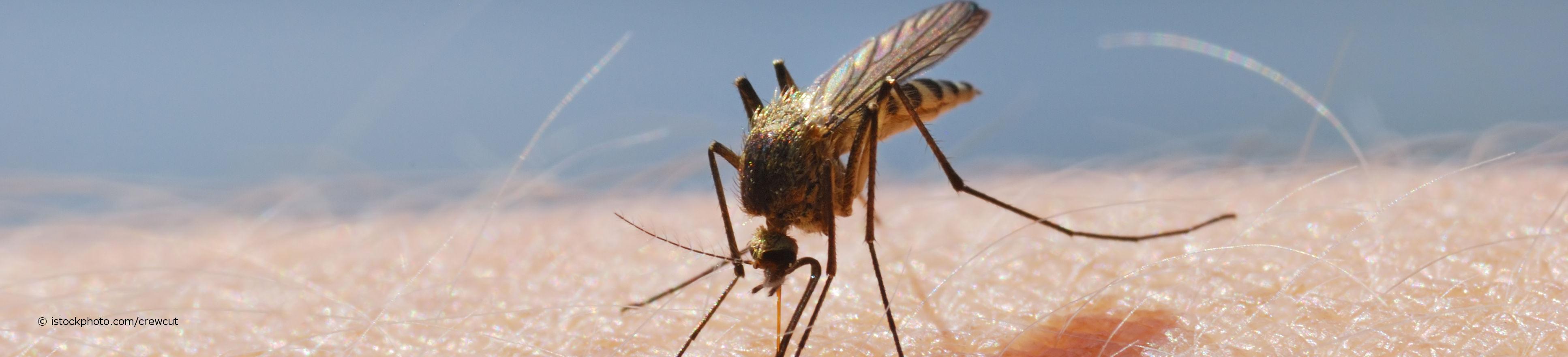 Malaria-Mücken der Gattung Anopheles können beim Stich den Einzeller Plasmodium übertragen.