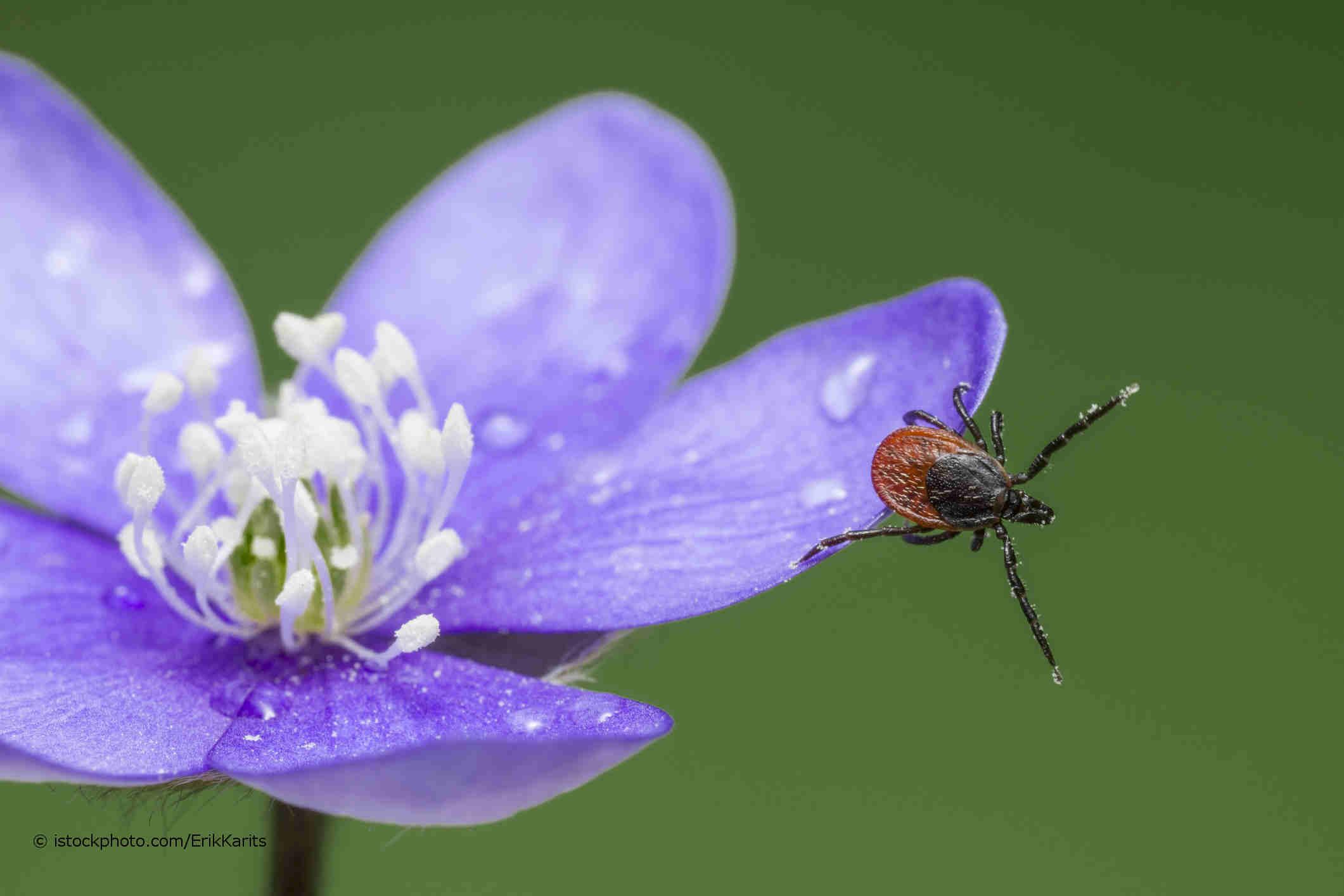 Mit Borrelien infizierter Holzbock sitzt auf einer blauen Blüte.
