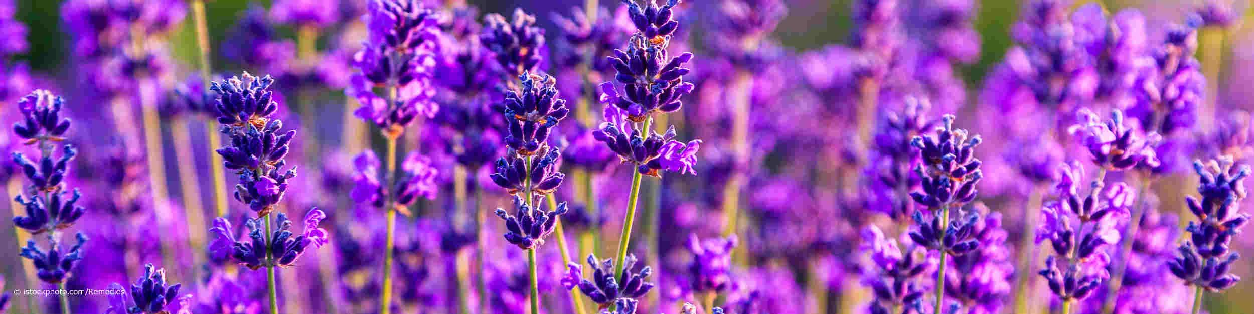 Der Echte Lavendel, lateinisch Lavandula angustifolia, ist die Arzneipflanze 2020
