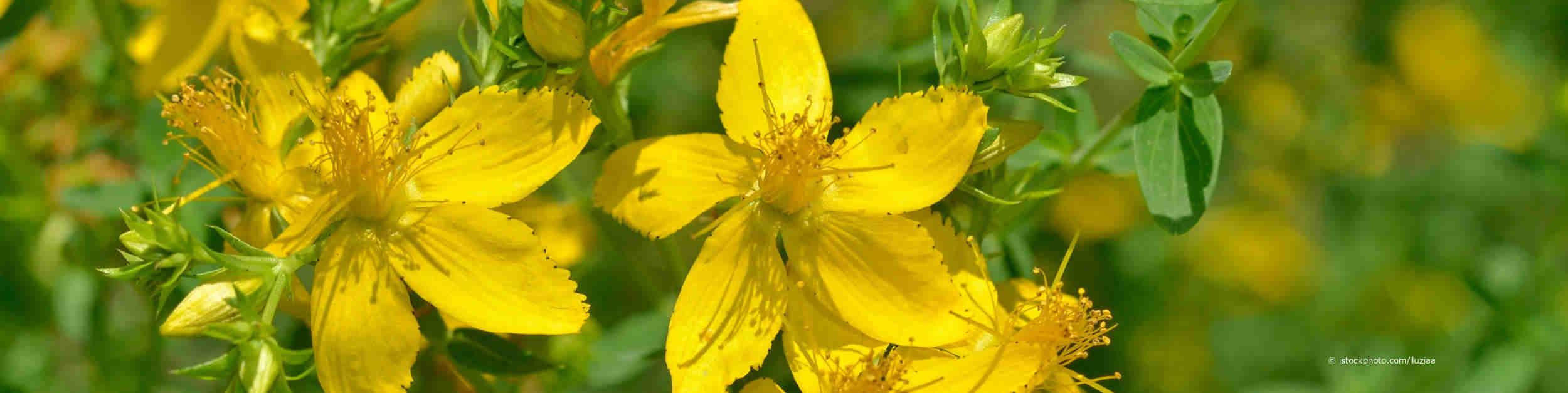 Johanniskraut, lateinisch Hypericum perforatum, ist Heilpflanze des Jahres 2019 und hat goldgelbe, fünfzählige Blütenblätter.