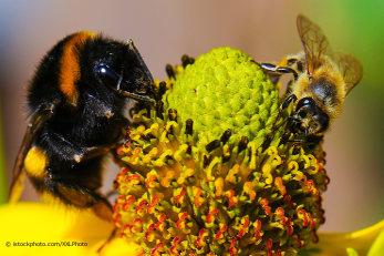 Hummel und Biene bei der Nahrungssuche auf einer gelben Blüte.