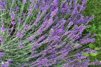 Echter Lavendel (Lavandula angustifolia) ist die Arzneipflanze 2020.