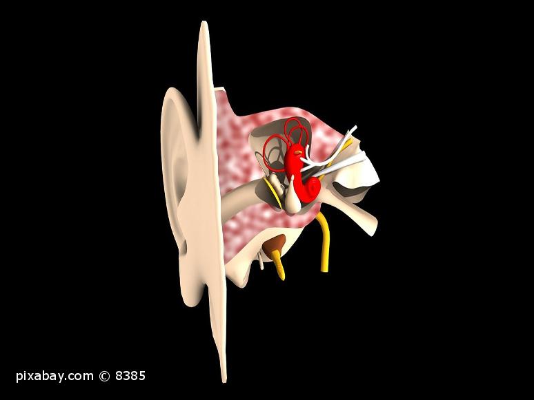 Innenansicht des menschlichen Ohres.
